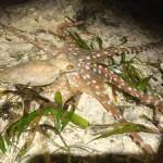 浦添市西洲の夜の海を歩いてタコとかエビ観察