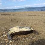 ヤンバルでアオウミガメの漂着死体とイルカンダとカツオノエボシ