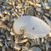 アオイガイと半透明な貝の化石とタコブネ。ヤンバルで貝拾い。