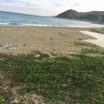辺土名の海岸のハマナタマメとモダマ