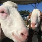 宜野湾産業祭りでヤギを愛でてイカスミ汁を喰う。