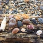 冬の嵐の後の貝拾い。アジロダカラとウミヘビとアオウミガメの漂着死体。