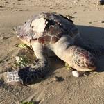アオウミガメの漂着死体。うるま市。