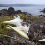 ヤンバル東海岸で、アサガオガイとヒメルリガイ拾った。アカウミガメの漂着死体も。