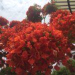 真っ赤なお花が満開。街路樹ホウオウボク