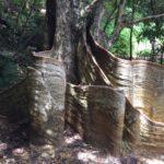 東村の天然記念物「サキシマスオウノキ」を見てきた