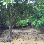 億首川のマングローブ林でカニと遊ぶ