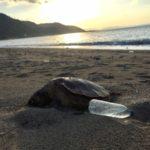 ヤンバルのビーチで漂着物探し。海豆とウミガメの死体