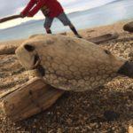 ヤンバル東海岸で海豆ひろい。モクメダマも見つけた。