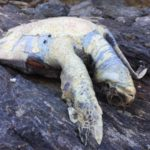 西海岸で今年初の貝拾い。ウミガメの死体と宝貝。