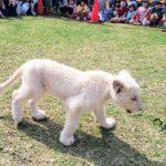 沖縄こどもの国のホワイトライオンを見て来た。
