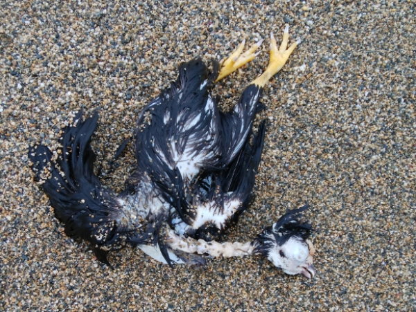 トラフシャコと鳥の漂着死体とネズミの漂着死体
