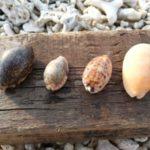 やんばるで貝殻拾い。ショクコウラとリュウテンサザエ