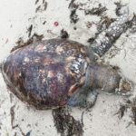 アオウミガメの漂着死体と海岸の岩に生えてる草たち