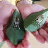 オオゴマダラの蛹の殻