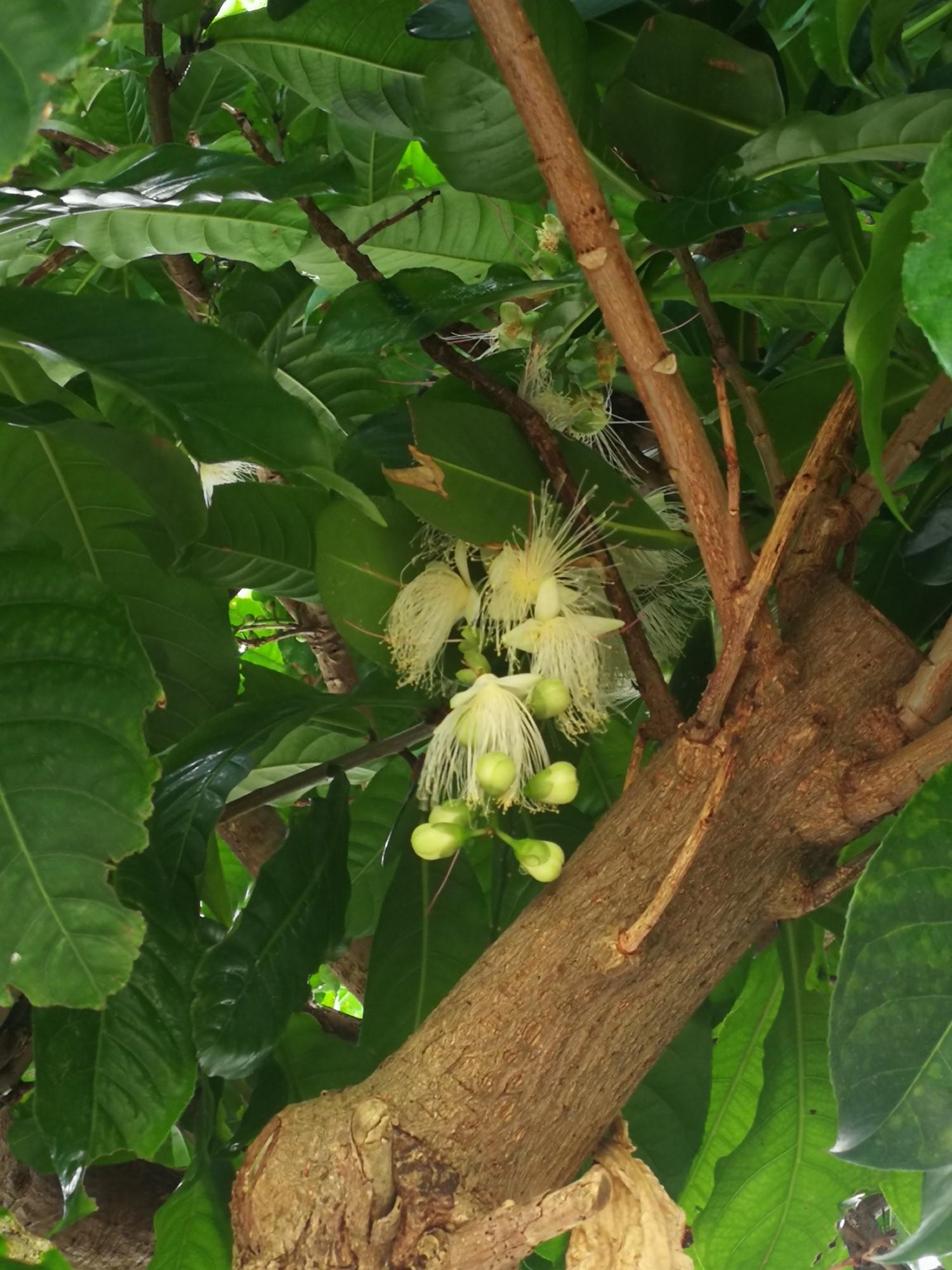 白いサガリバナの花