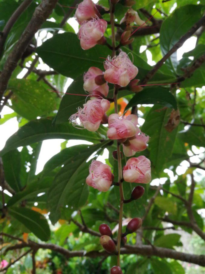 ピンクのサガリバナの花